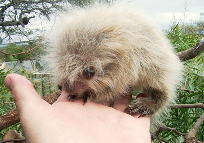 The Crazy Cute Hairy Dwarf Porcupine Featured Creature