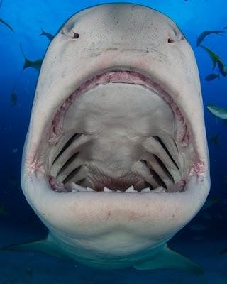 tiger shark mouth bite