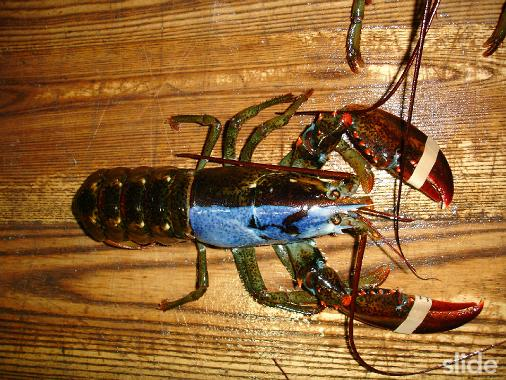 The Unusual & Different Colors of Lobsters | Featured Creature