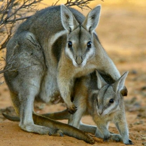 Endangered Species Spotlight: Bridled Nail-tailed Wallaby