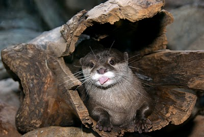 Stinky or Sweet? The Small-Clawed Otter