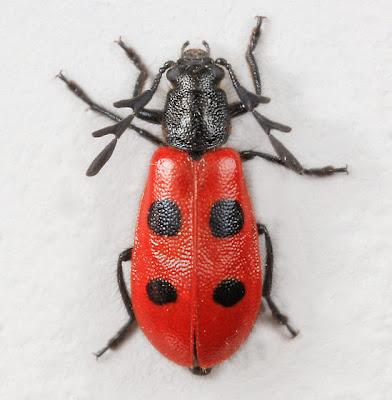 The Ladybug IMPOSTER Unmasked!