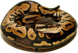 a pastel ball python pretty featured creature
