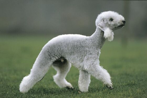 Lamb Dog Breed