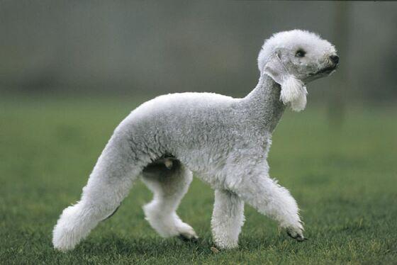 Bedlington Terrier  Dog Breed Selector  Animal Planet