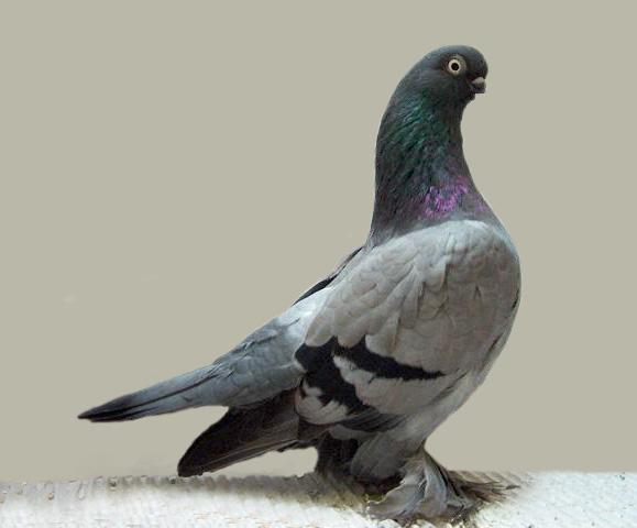 Pigeon Project: the Shrunken Head Pigeon | Featured Creature