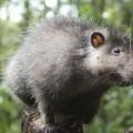 Bosavi-Woolly-Rat-0011