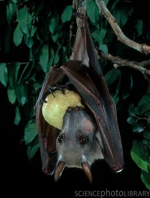 Hammer-headed Fruit Bat, Hypsignathus monstrosus