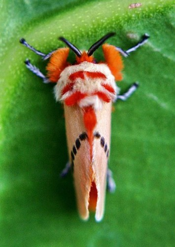 Trick or Treat! It's The Moth Dressed as a Clown For Halloween!