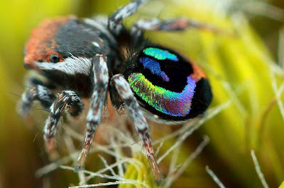 The Most Beautiful (and Beastly) Creature: Rainbow Jumping Spider