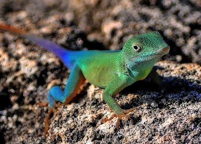 Mystery Solved & Most Beautiful Anole Revealed