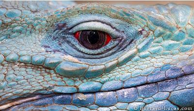 Blue Baby Godzilla? A Portrait of the Rarest Cerulean Iguana