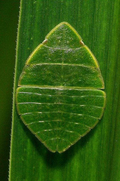 I'm a Little Leafhopper Short and Stout…