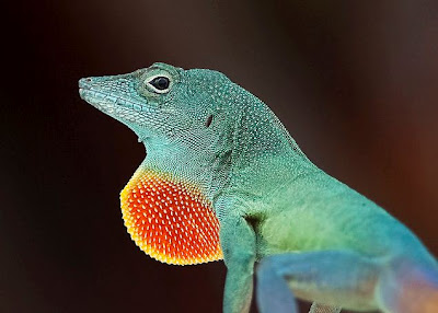 Mystery Solved Amp Most Beautiful Anole Revealed Featured