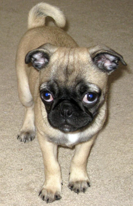 pug mixed with chihuahua 7 mutts that put purebreds to shame featured creature 7572