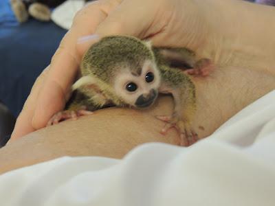 Baby Squirrel Monkey Cuteness OVERLOAD!
