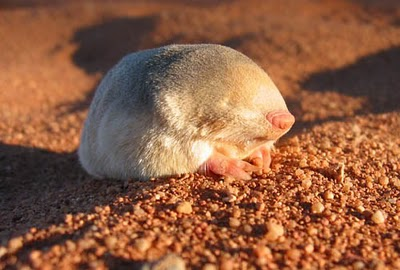 cute golden mole