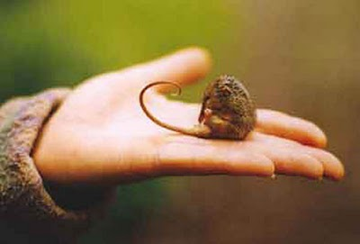 If You Give A Honey Possum Some Nectar Featured Creature