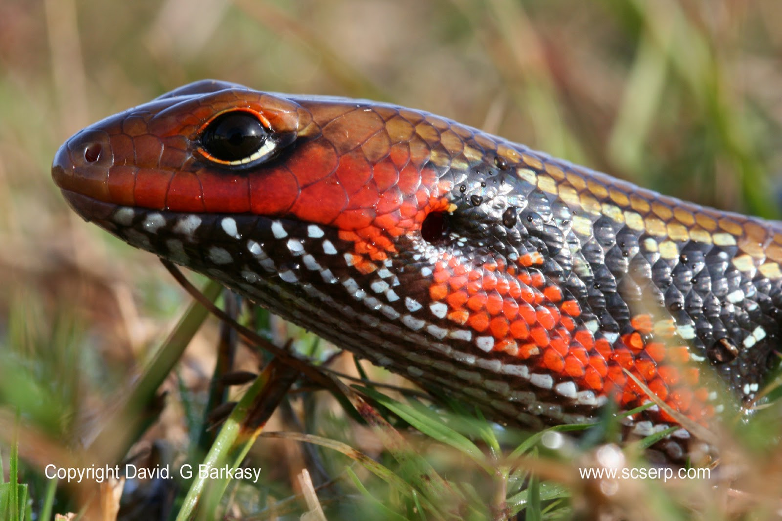 The Fire Skink Of Western Africa Featured Creature