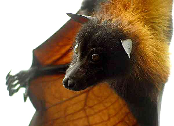Giant-golden-crowned-flying-fox-42.jpg