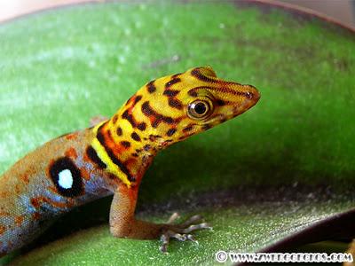 Some Gecko Eye Candy