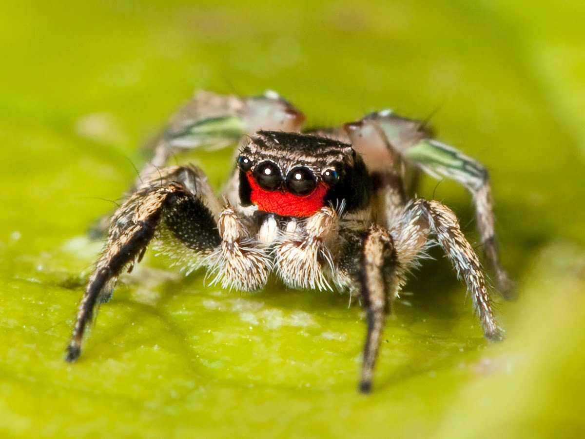 spider jumping spiders cute habronattus vision tennessee male adult credit contradiction ya nashville kaldari trichromatic