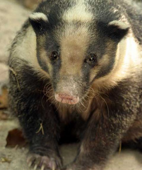 An Affair to Remember: The Hog Badger