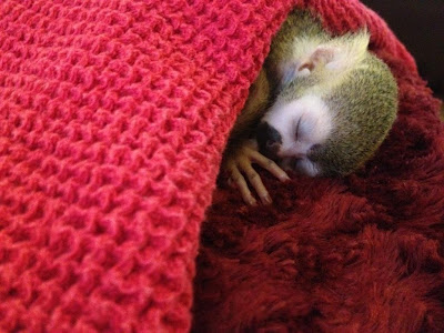 My New Best Friend: Kingston the Baby Squirrel Monkey