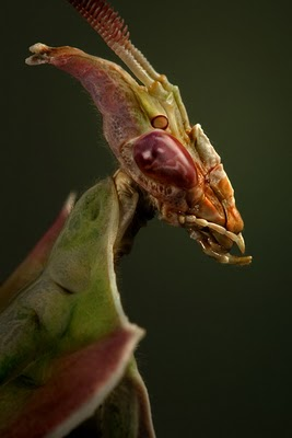 devils flower mantis