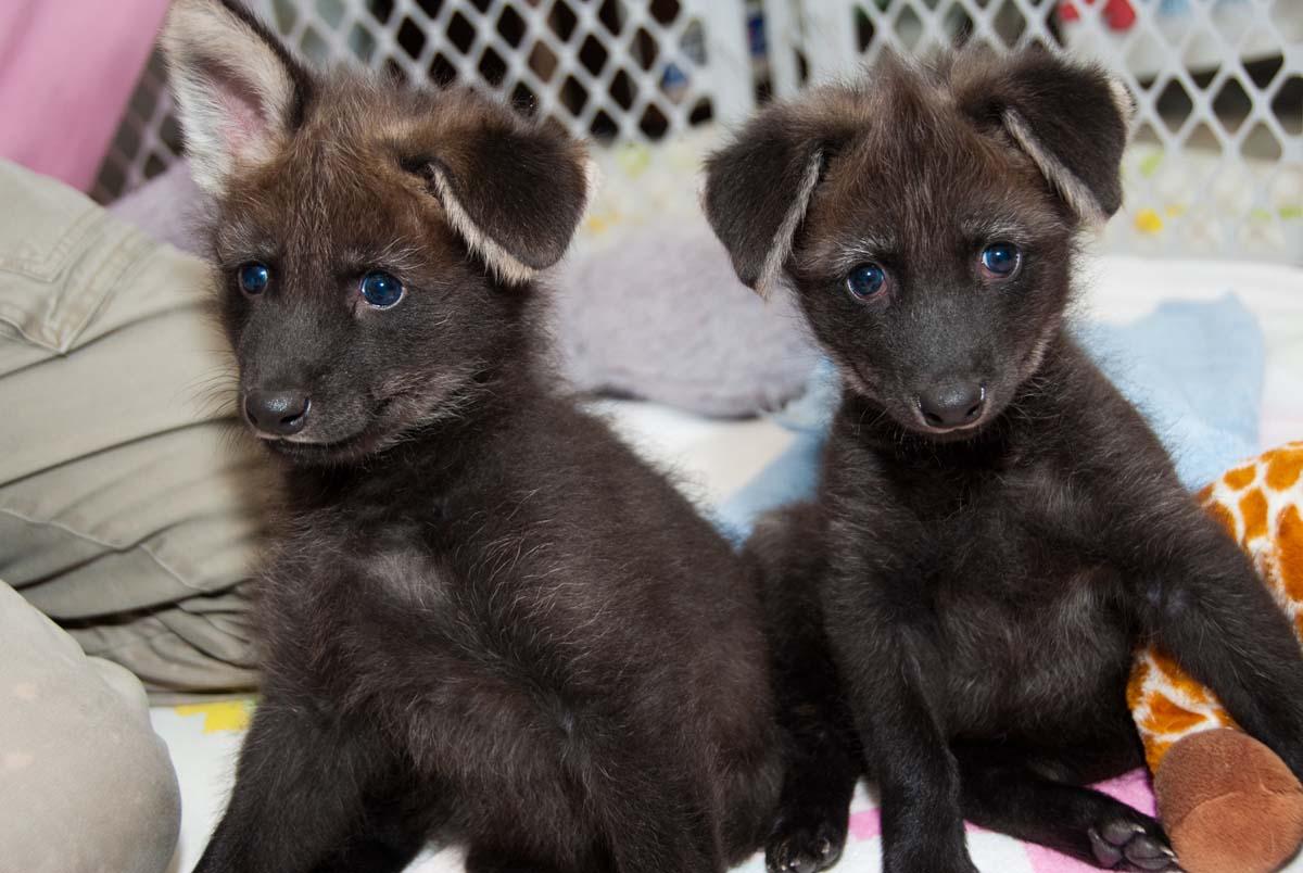 https://featuredcreature.com/wp-content/uploads/2012/10/Maned-Wolf-Pups2.jpg