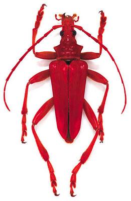 Freshly Cooked Lobster Beetle