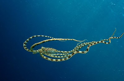 indonesian mimic octopus