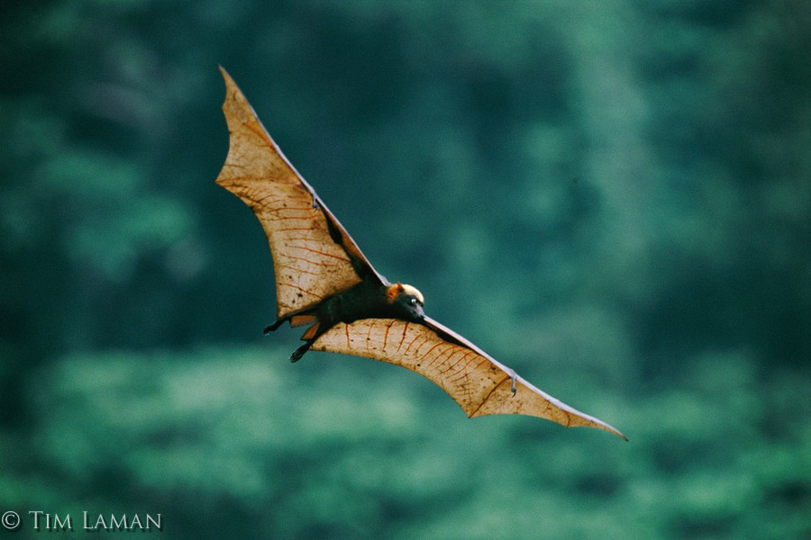 You Bat-ter Brace Yourself: GIANT Megabat Soars Through Remote ...