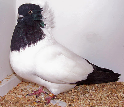 Pigeon Project: The Nun