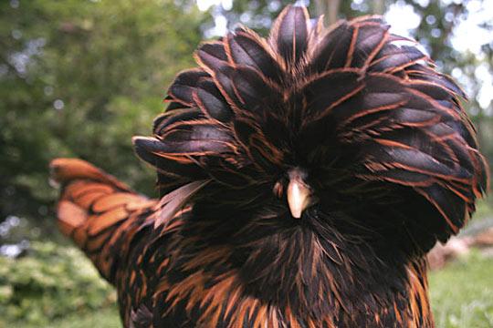 Do The Funky Chicken 9 Weird Breeds Of Chicken Featured Creature