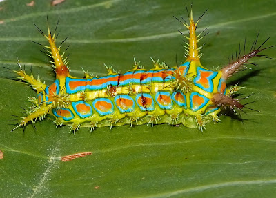 From Incredible to Ordinary: Wattle Cup Caterpillar