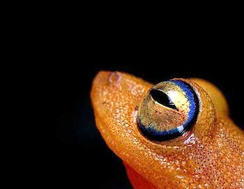 Check Out This Frog's Eyes: Blue-eyed Bush Frog