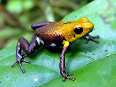 A Laker's Fan Frog
