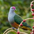 Rose_Crowned_Fruit_Dove_M11