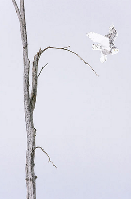 snowy owl flying with white background