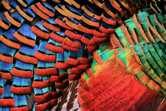 ocellated turkey, beautiful turkey, Meleagris ocellata (11)