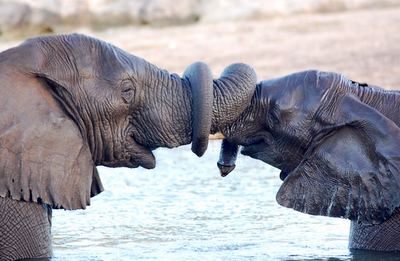elephants shaking trunks
