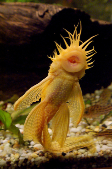 Bristlenose Catfish Dads Deserve A Fishy Hug Featured