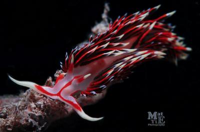 New Week Nudibranch: Phidiana militaris