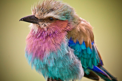 The Breathtaking, Belly Dancing Lilac-Breasted Roller
