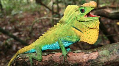 Hump-nosed Lizard Sadness