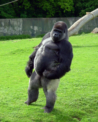 Ambam, gorilla walks like a man
