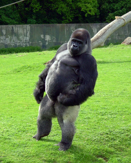 Ambam the silverback gorilla walks on his rear legs at the Port Lympne ...