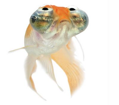 Look Up! Celestial Eye Goldfish
