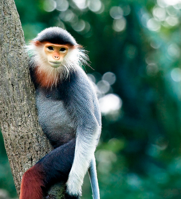Red-shanked Langur